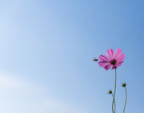 La abeja y el cosmos de la miel florecen en fondo del cielo azul Imagenes de archivo