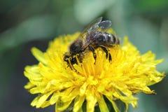 La abeja y el diente de león Foto de archivo