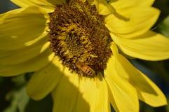 La abeja y el girasol Foto de archivo libre de regalías