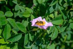 La abeja y el perro subieron Foto de archivo
