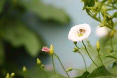 La abeja y la correhuela blanca Fotos de archivo