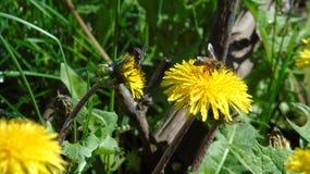 La abeja y la mosca en la flor Imagen de archivo libre de regalías