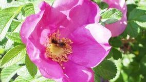 La abeja y la mosca recogen el polen de la flor rosada del perro subieron almacen de metraje de vídeo