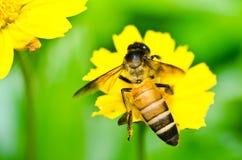 La abeja y poca estrella amarilla florecen en naturaleza verde Fotos de archivo