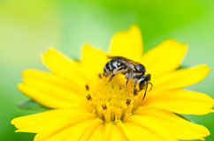 La abeja y poca estrella amarilla florecen en naturaleza verde Foto de archivo libre de regalías