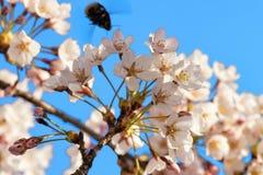 La abeja y Sakura o el cerezo florece el cielo azul de la floración Imagen de archivo libre de regalías