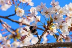 La abeja y Sakura o el cerezo florece el cielo azul del flor Fotos de archivo