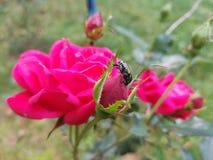 La abeja y su subió Fotografía de archivo libre de regalías