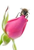 La abeja y subió Imágenes de archivo libres de regalías