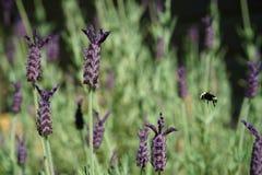 La abeja zumba las flores fragantes de la lavanda Foto de archivo