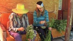 La abuela mayor y la mujer joven escogen las floraciones de la manzanilla de la hierba almacen de metraje de vídeo