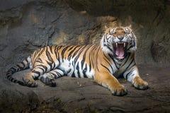 La acción del tigre Fotografía de archivo libre de regalías