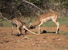 La acción tiró de dos varones que luchaban, polvo del impala está castrando fotografía de archivo libre de regalías