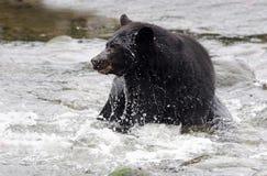 La acción tiró de oso negro en el río, isla de Vancouver, Canadá Foto de archivo libre de regalías