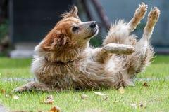La acción tiró de un perro peludo que jugaba en un campo Foto de archivo