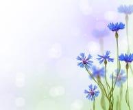 La achicoria azul florece el fondo Fotos de archivo