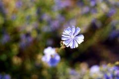 La achicoria florece el contexto verde de la hoja Fotos de archivo libres de regalías