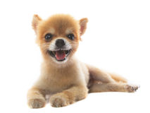 La actuación preciosa del perro de perrito pomeranian aisló el fondo blanco Fotografía de archivo libre de regalías