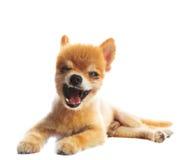 La actuación preciosa del perro de perrito pomeranian aisló el fondo del whtie Fotos de archivo