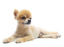 La actuaci?n preciosa del perro de perrito pomeranian aisl? el fondo del whtie Foto de archivo libre de regalías