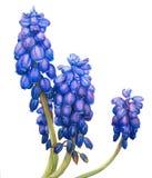 La acuarela florece el Muscari Fotografía de archivo libre de regalías