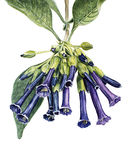 La acuarela florece Iochroma Imagen de archivo