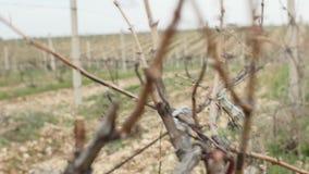 La agricultura aérea de arriba de la cosecha del viñedo de la cantidad industrial de la cosecha de la máquina segador rema y alin almacen de video