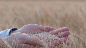 La agricultura del pan, granjero abre las palmas y muestra granos de oro del trigo en puntos madurados del trigo candeal en cosec metrajes