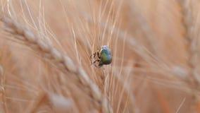 La agricultura, parásito verde claro del abejorro del escarabajo se arrastra en el oído cosechado de oro del trigo en la estación almacen de video