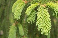 La aguja fresca se va en rama del abeto en la primavera foto de archivo libre de regalías