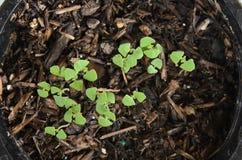 La albahaca del limón del bebé germinó de la semilla en pote con el suelo Fotografía de archivo