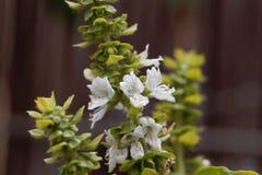 La albahaca florece basilicum del Ocimum con el fondo marrón fotos de archivo