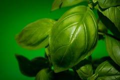 La albahaca verde deja el primer en el fondo verde Foto de archivo