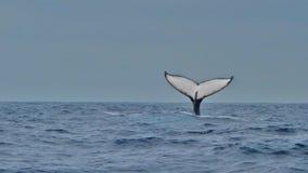 La aleta de una ballena jorobada, Ecuador Imagenes de archivo