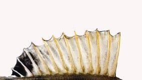La aleta de una perca, en un franco blanco Foto de archivo libre de regalías