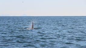 La aleta dorsal de una orca es visible sobre las aguas del Océano Pacífico cerca de la península de Kamchatka, Rusia fotos de archivo