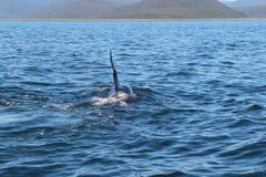 La aleta dorsal de una orca es visible sobre las aguas del Océano Pacífico cerca de la península de Kamchatka, Rusia foto de archivo