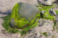 La alga cubrió piedras en una playa irlandesa Imagenes de archivo