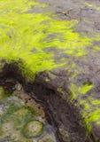 La alga cubrió piedras en una playa irlandesa Fotos de archivo