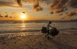 La alga marina que llevaba del granjero indonesio recogió de su granja a la casa para secarse por mañana, Nusa Penida, Indonesia  Foto de archivo libre de regalías