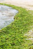 La alga marina recogió de la orilla después de la tormenta Fotografía de archivo libre de regalías