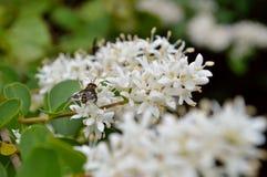 La alheña florece primer con la abeja Imágenes de archivo libres de regalías