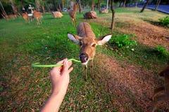 La alimentación de los ciervos come la mano de la cabeza del parque zoológico de las lentejas Fotografía de archivo libre de regalías