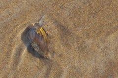 la almeja del mejillón del río en el agua pegó tentáculo y el arrastre en el th foto de archivo