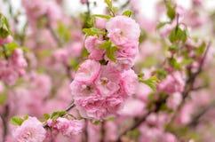 La almendra florece los plenos del triloba del Prunus Fotos de archivo libres de regalías