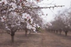 La almendra hermosa de las huertas de la almendra florece en una floración temprana de la primavera de la rama Imágenes de archivo libres de regalías