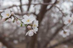 La almendra hermosa florece en una floración temprana de la primavera de la rama Fotos de archivo libres de regalías