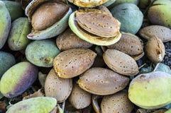 La almendra sensacional con la piedra, almendras de colada, comiendo las almendras es buena para la salud, almendras naturales, s Fotos de archivo libres de regalías