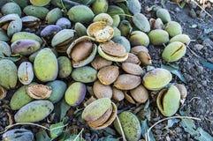 La almendra sensacional con la piedra, almendras de colada, comiendo las almendras es buena para la salud, almendras naturales, s Foto de archivo libre de regalías