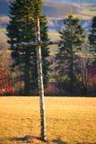 La alta saturación tiró de cruz del abedul en luz del sol Imagen de archivo libre de regalías